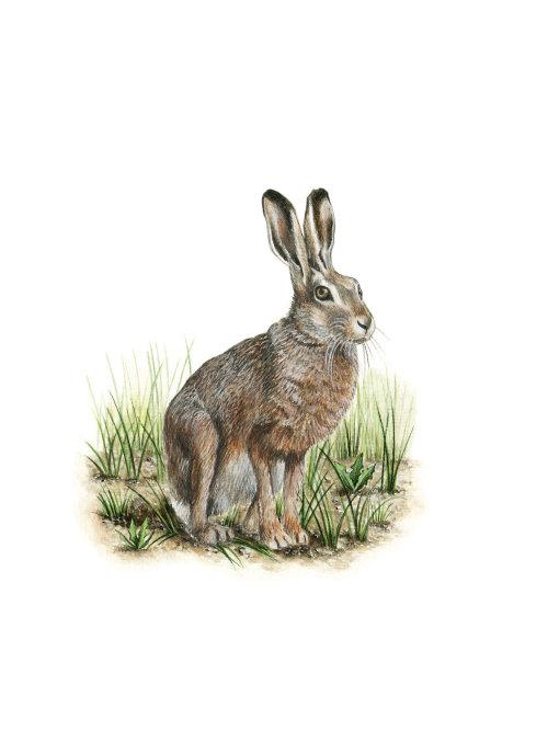 Animal European Hare watercolor painting