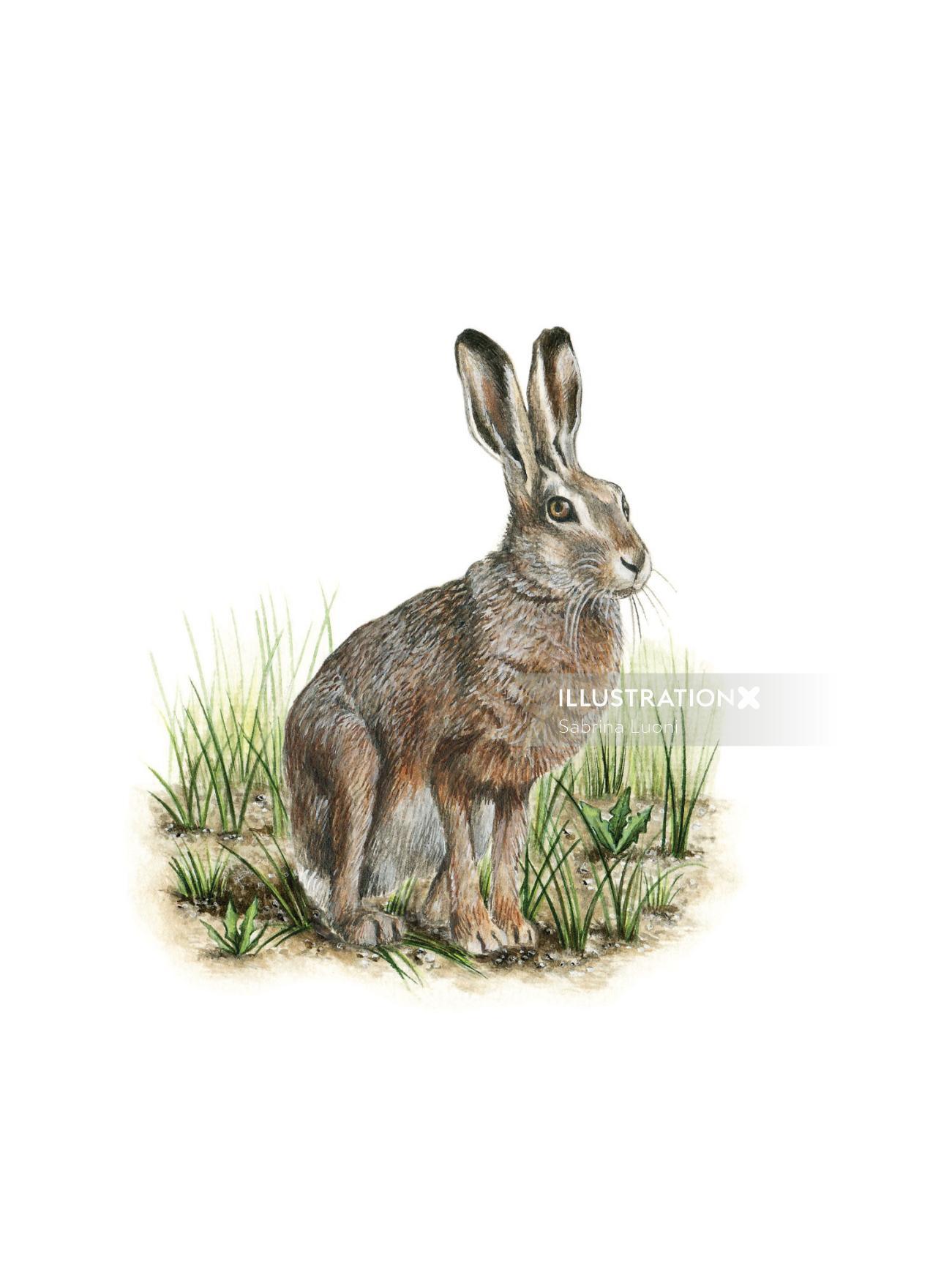 European hare (Lepus europeaus)