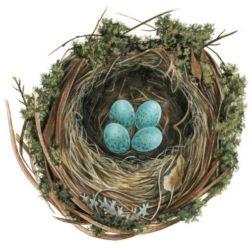 Blackbird (Turdus merula), nest