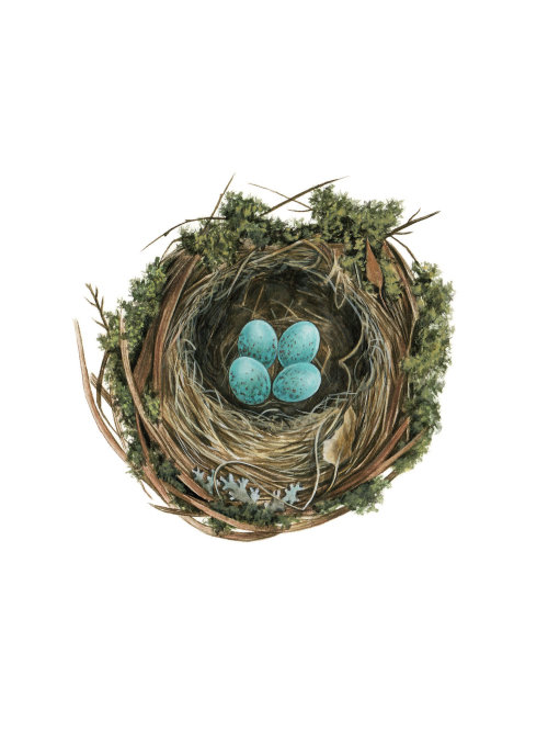 Nest of Blackbird Graphic illustration