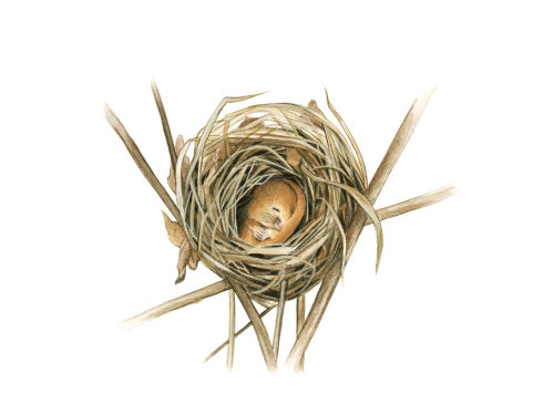 Dormice (Muscardinus avellanarius), sectioned nest