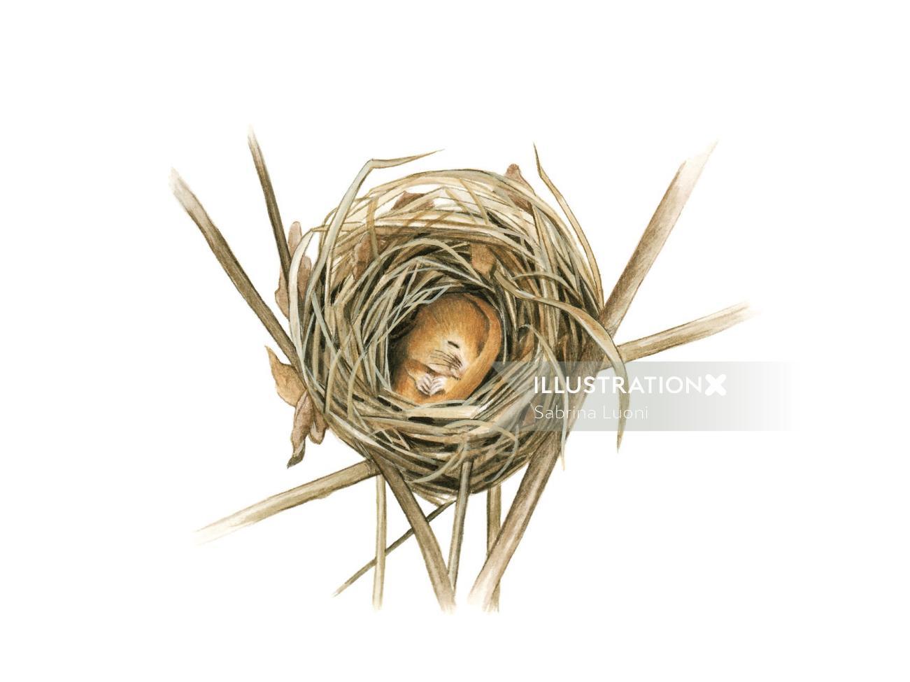 Dormice (Muscardinus avellanarius), sectioned nest