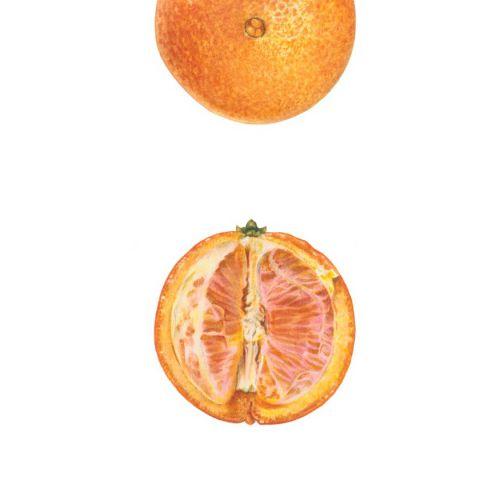 'Washington Navel' Orange (Citrus sinensis 'Washington Navel')