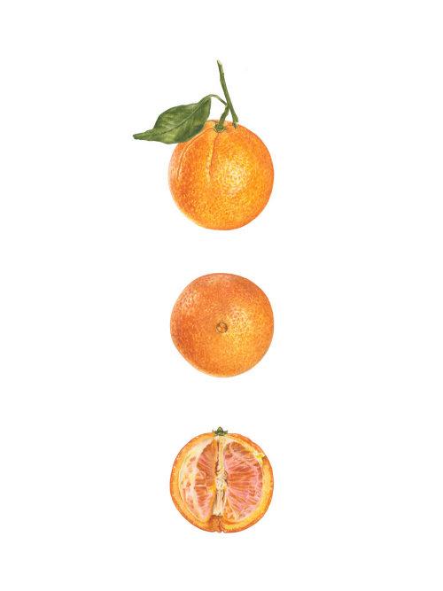 Orange 'Washington Navel' (Citrus sinensis 'Washington Navel')