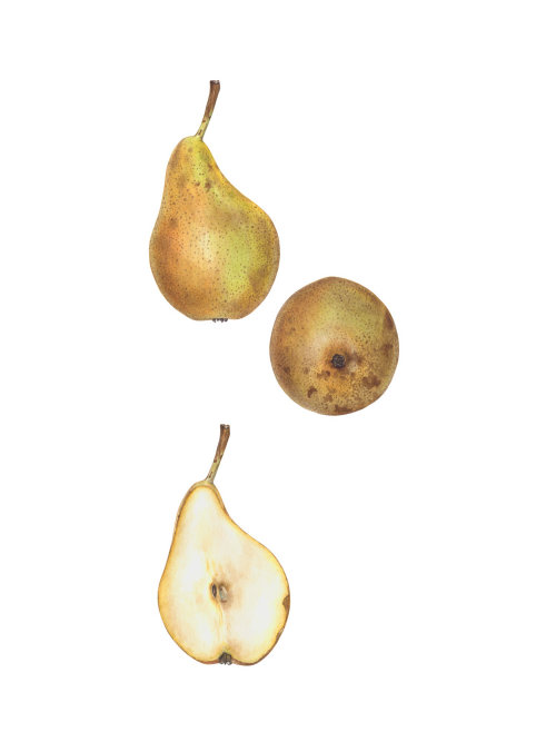 Photorealistic art of Conference' Pear fruit