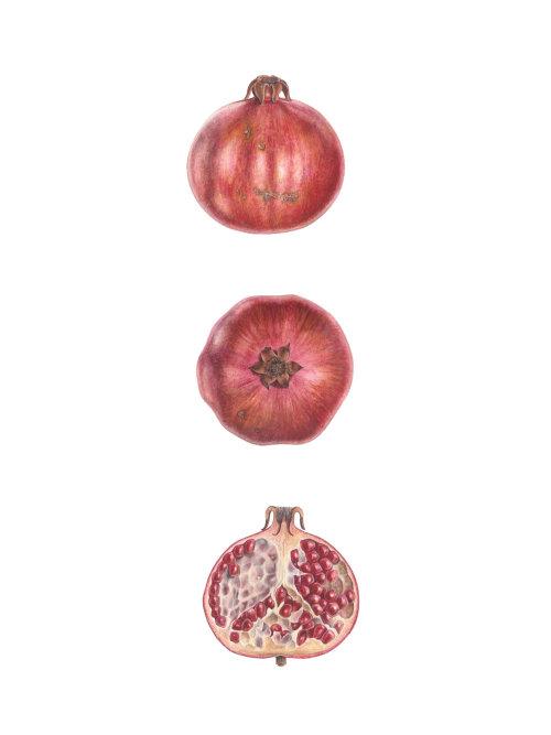 Grenade (Punica granatum)