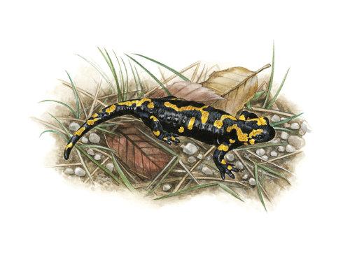 Salamandre de feu (Salamandra salamandra)