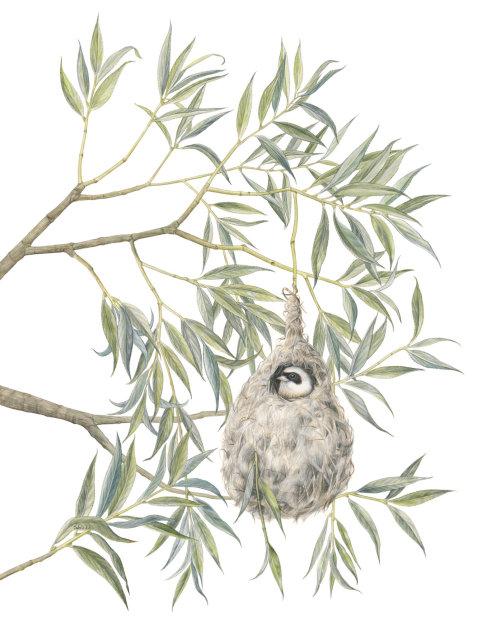 Mésange pendulaire eurasienne (Remiz pendulinus)
