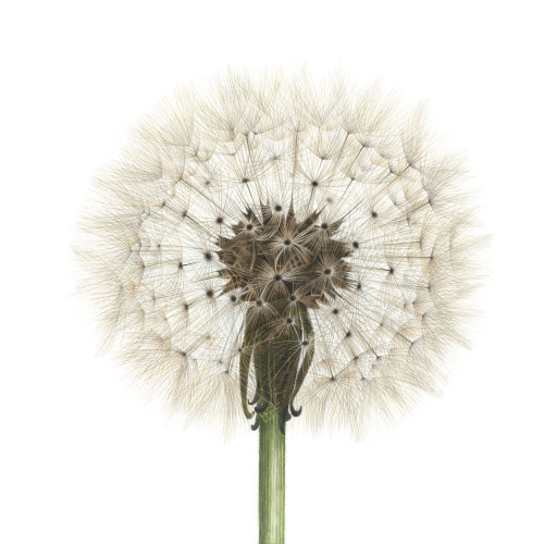 Dandelion plant seeds illustration