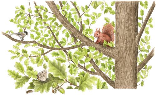 Animal Red Squirrel illustration