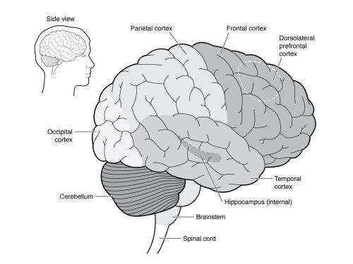 illustration of brain