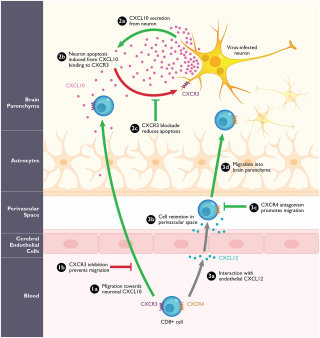 Arbovirus-induced encephalitis in mice illustration by Shelley Li Wen Chen