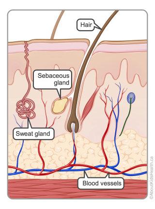 Skin anatomy illustration by Shelley Li Wen Chen
