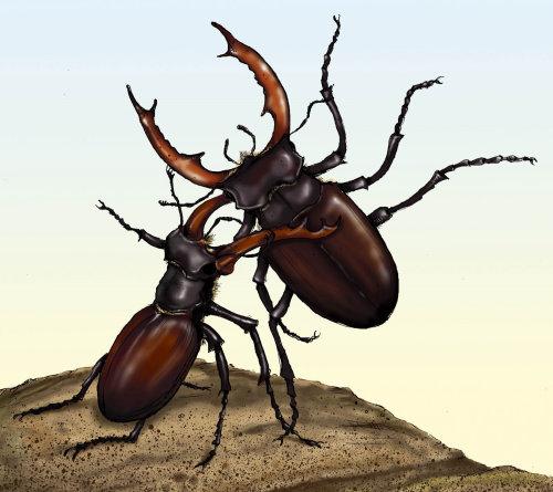 Stag beetles fighting illustration