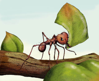 Leaf-cutter ant carrying leaf