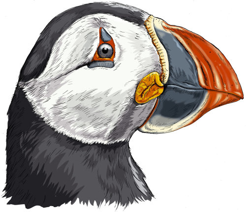Puffin Head Painting By Sholto Walker