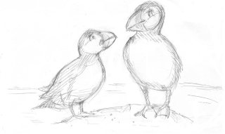 Pencil sketch of puffins
