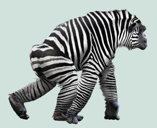 Hybrid between zebra and chimp illustration by Steinar Lund