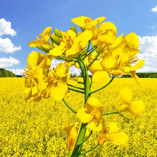 Landscape with Rapeseed flower