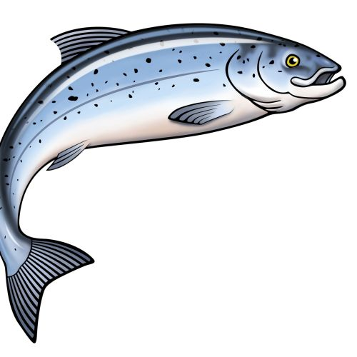 Graphic Illustration of Salmon Fish