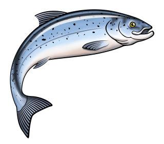 Graphic Illustration of Salmon Fish