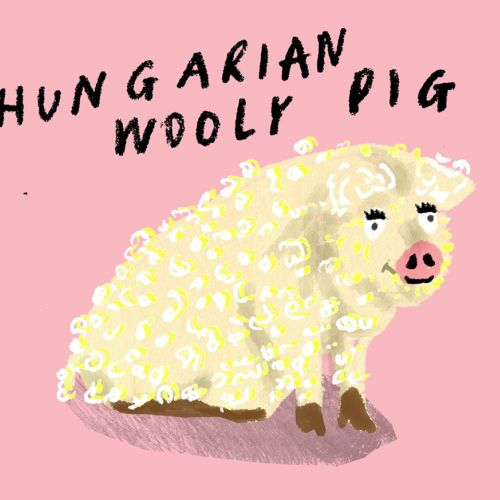 Drawing hungarian wooly pig