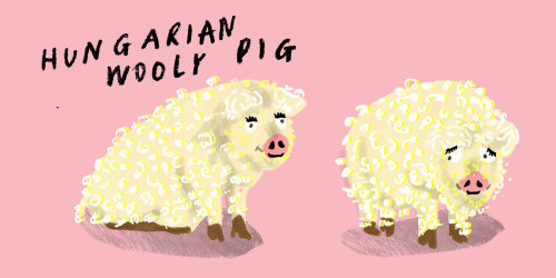 Desenho de porco lanoso húngaro
