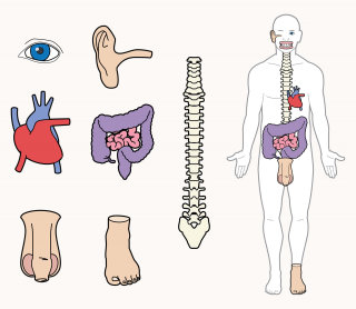 Line drawing of human body parts